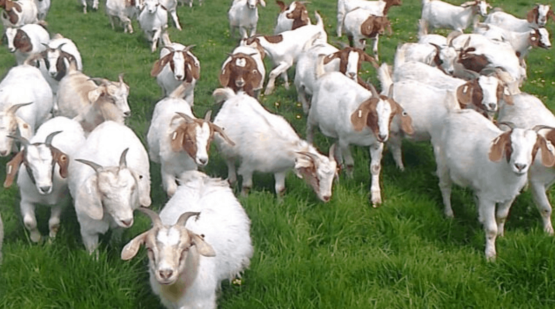Goats cutting the grass at Google Mountain View HQ
